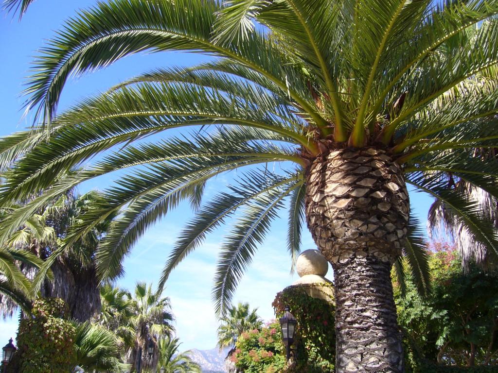 big-palm-tree-santa-barbara2