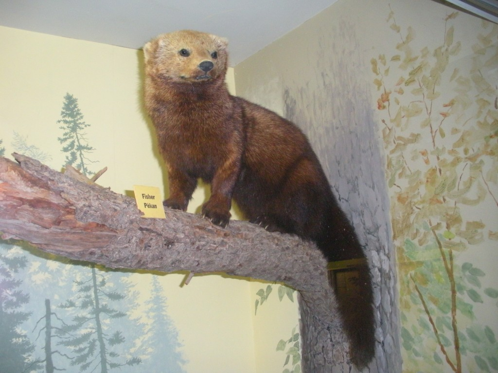 fisher cat exhibit